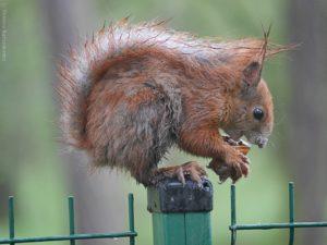 mokra ruda wiewiórka siedzi na słupku i je orzecha